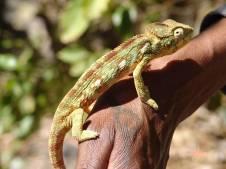 Madagaskar, kameleon