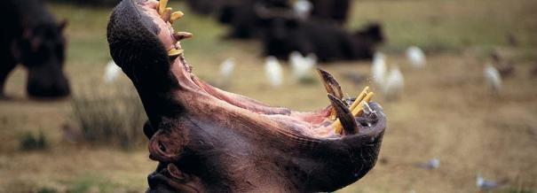 Mana Pools hippo