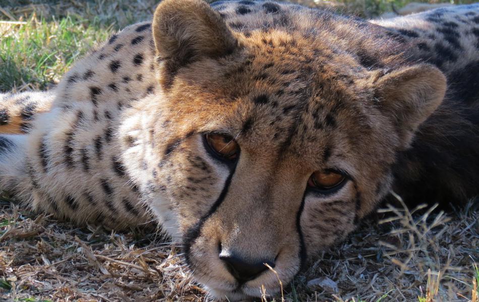 overblijfsel jacht dier in afrika