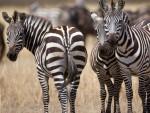 Serengeti National Park safari maatwerk reizen zebra's
