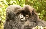 Bwindi, Gorilla