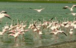 lake Manyara, Flamingo's