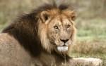 Leeuw, Tarangire