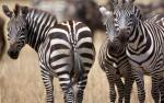 Zebra's, Tarangire