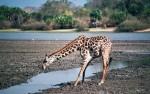 Selous game reserve, giraffe