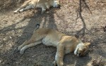 Selous game reserve, lions