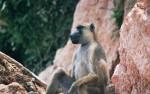 Selous game reserve, baviaan