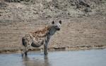 Hyena Katavi