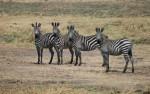 Zebra's Katavi